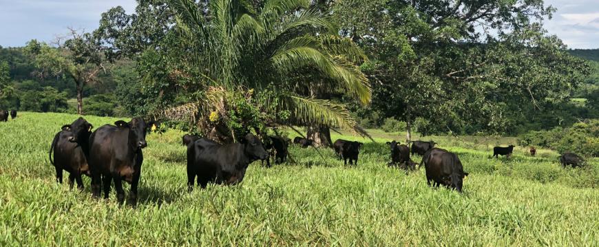 Carne bovina: a proteína original à base de plantas, movida a energia solar