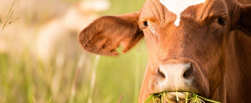 """""""Se o boi é de primeira, não há carne de segunda"""", certo? ERRADO!"""