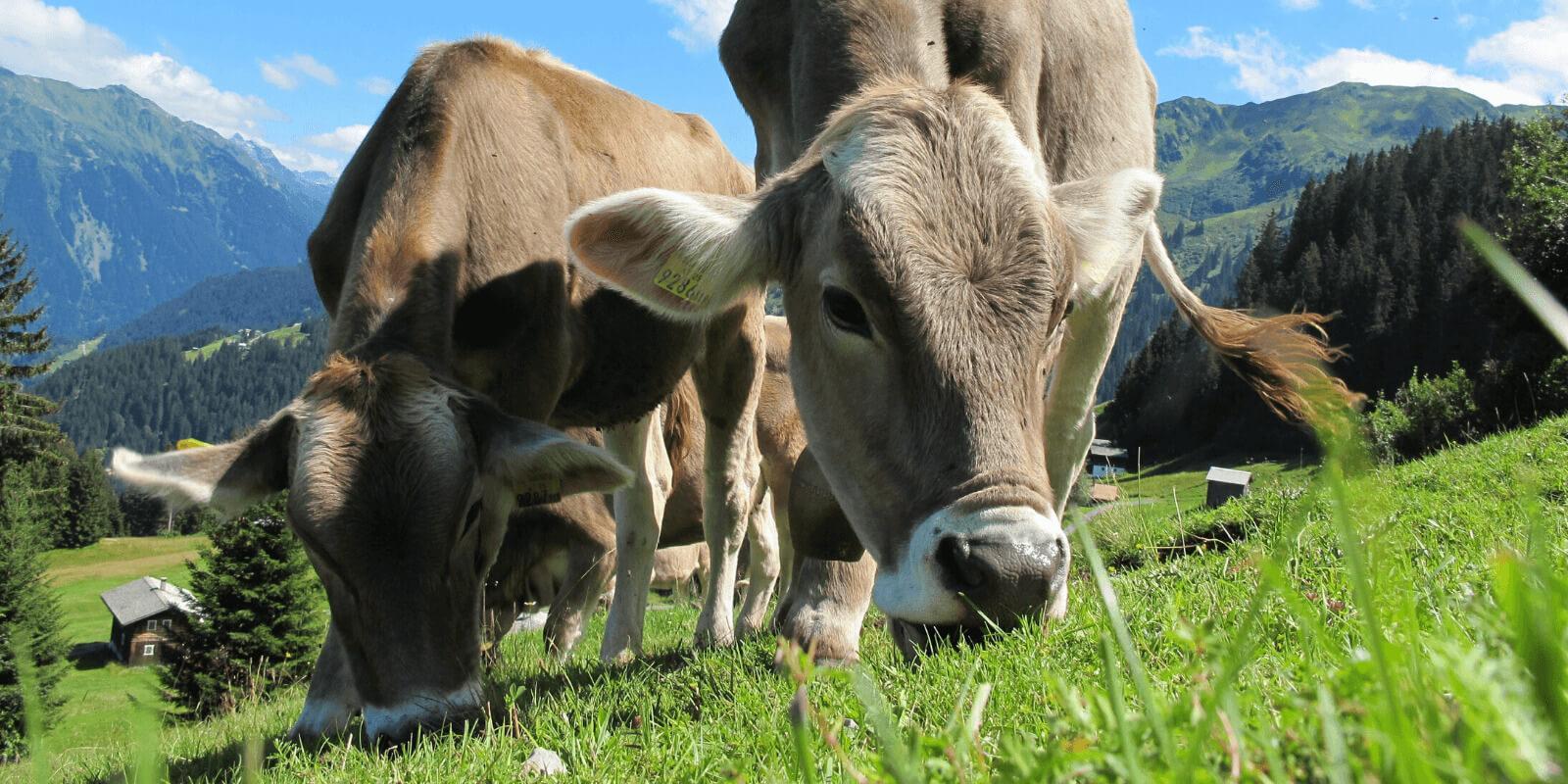 Bovinos são herbívoros e sua carne é segura para o consumo